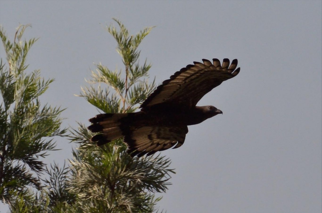 black-eagle