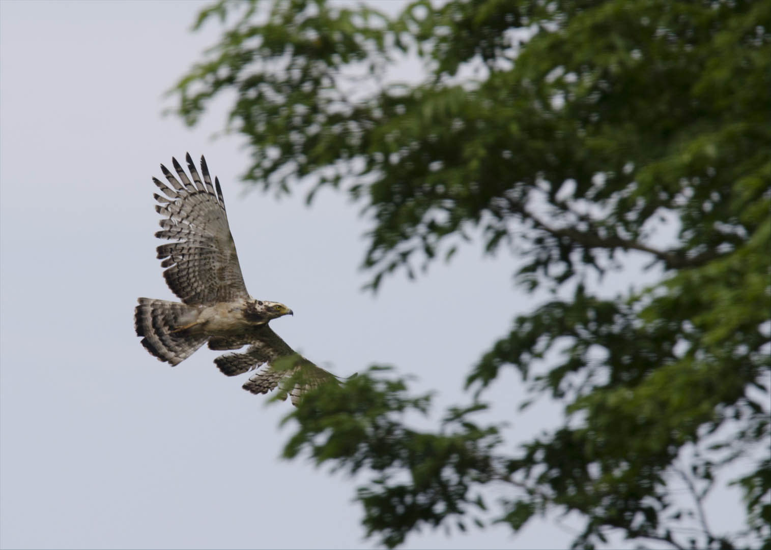 crested-serpent-eagle