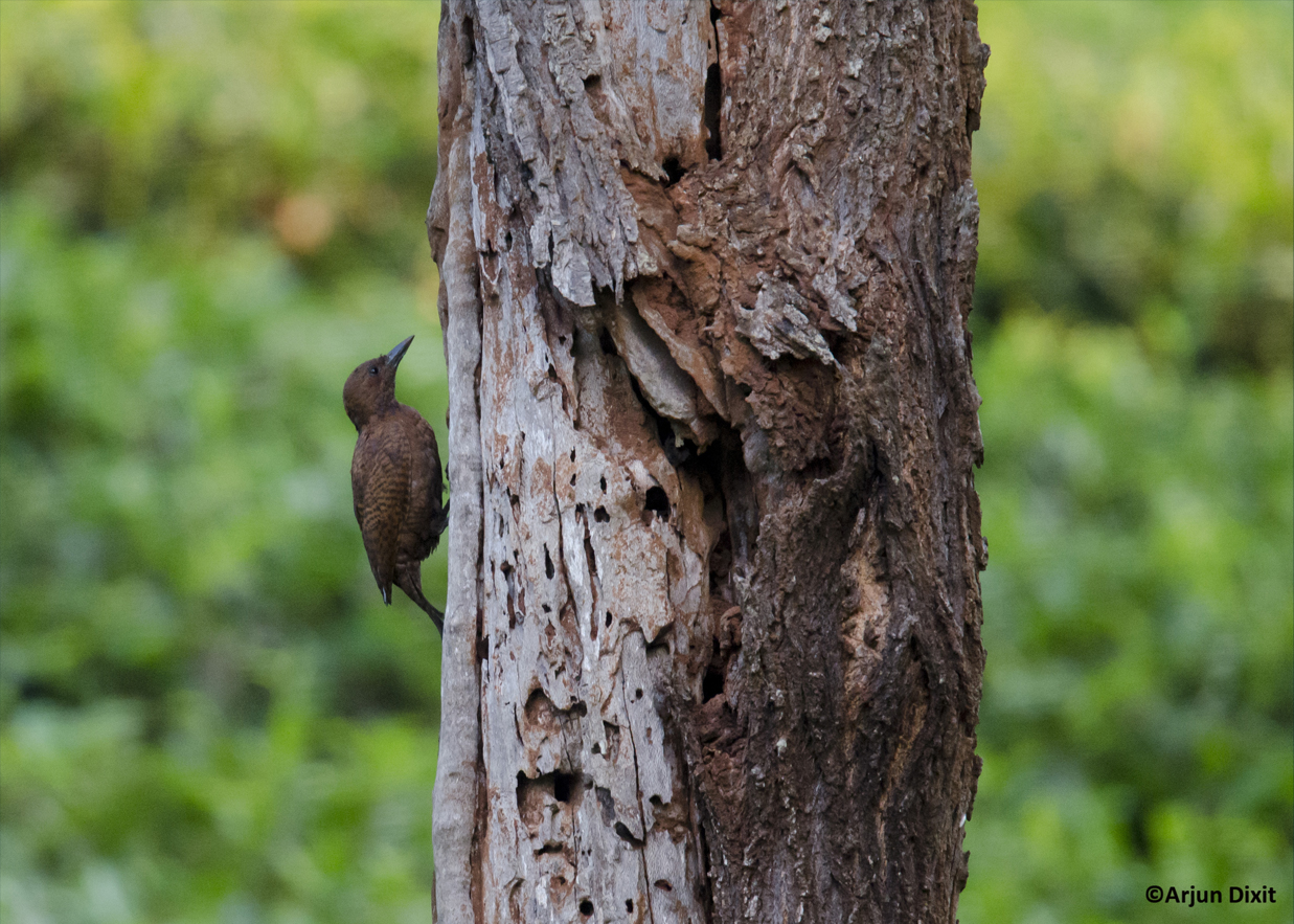 rufous-woodpecker