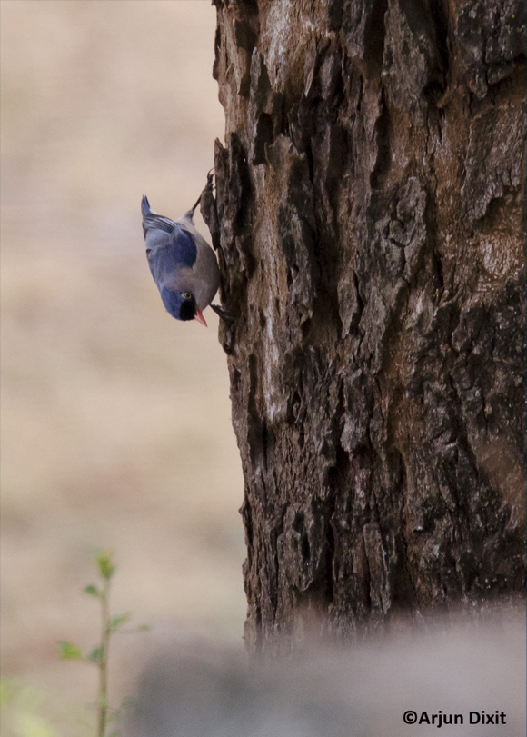 velvet-fronted-nuthatch