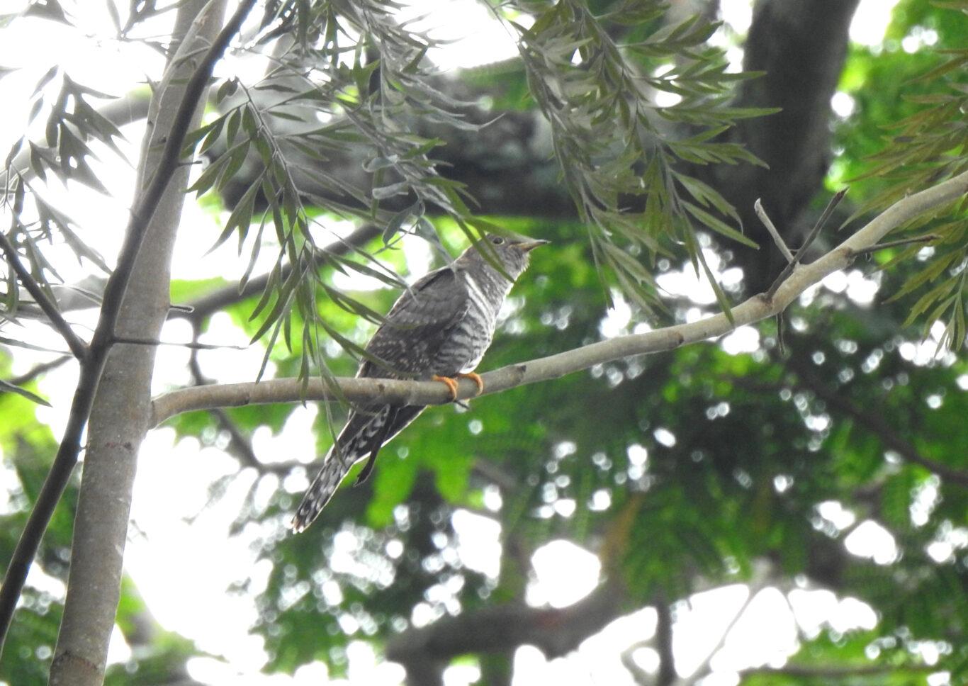 lesser-cuckoo
