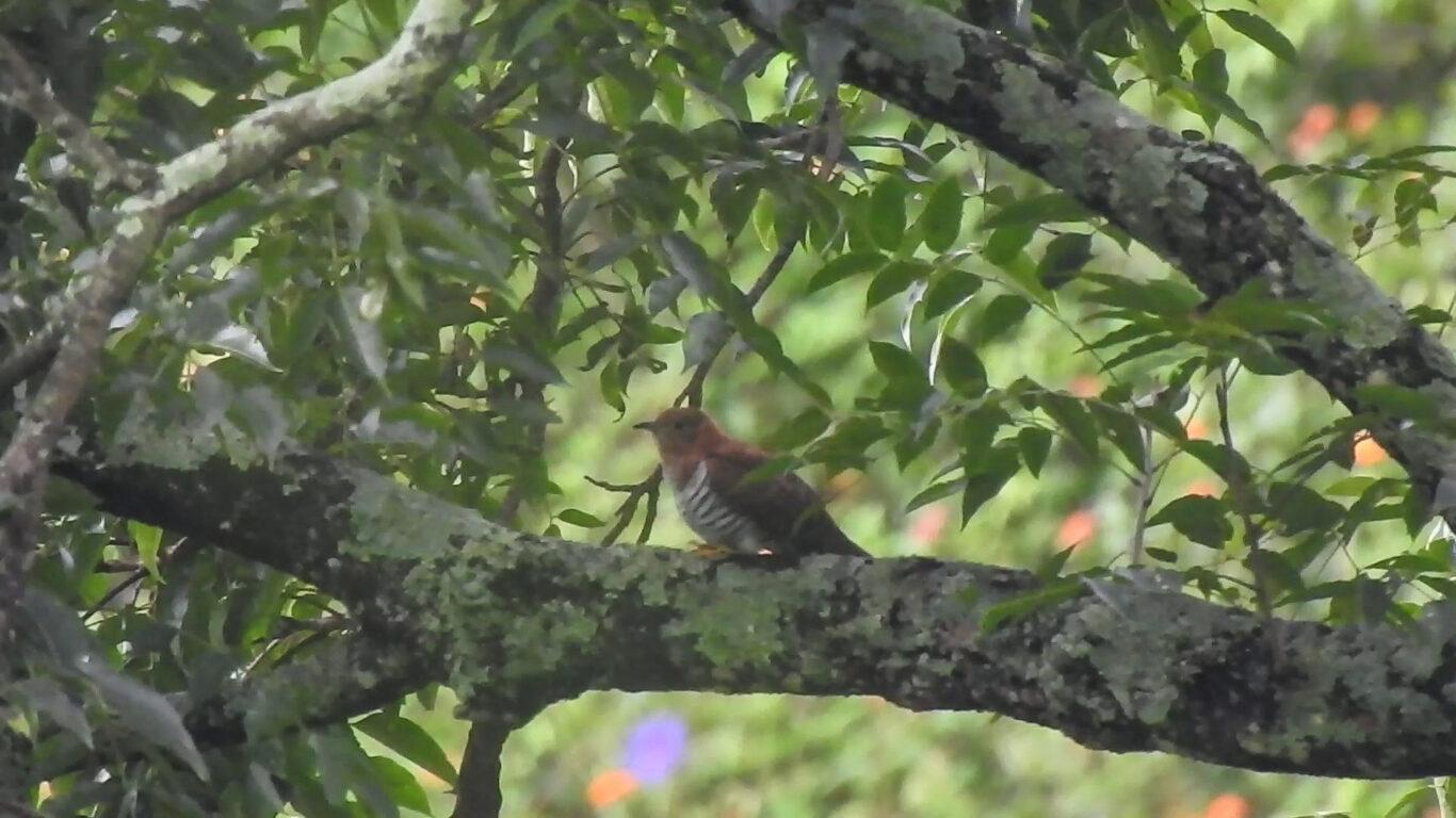 lesser-cuckoo-female